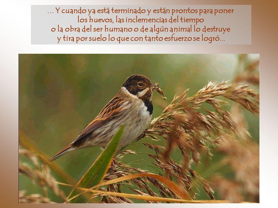 Están días y días haciendo su nido, recogiendo materiales a veces traídos desde largas distancias...
