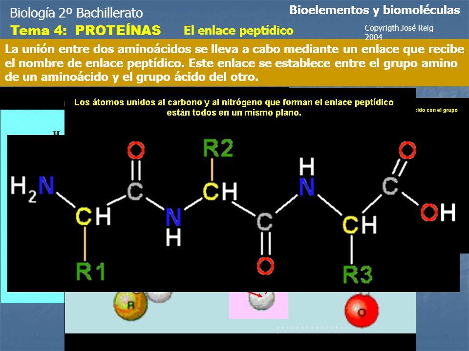 Biología 2º Bachillerato Bioelementos y biomoléculas Tema 4: PROTEÍNAS El enlace peptídico La unión entre dos aminoácidos se lleva a cabo mediante un