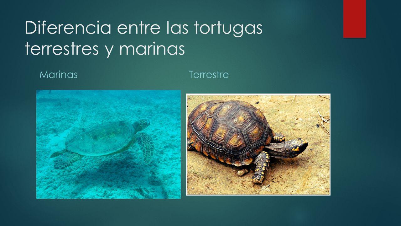 Diferencia entre las tortugas terrestres y marinas MarinasTerrestre