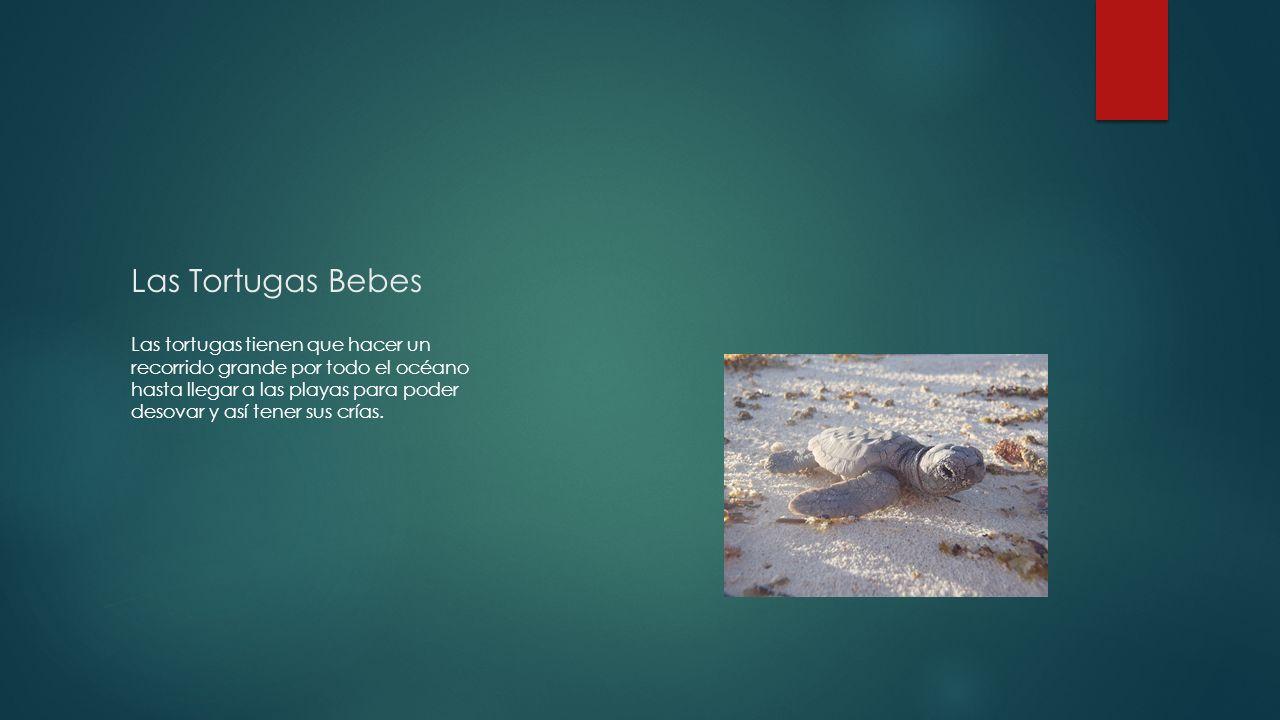 Las Tortugas Bebes Las tortugas tienen que hacer un recorrido grande por todo el océano hasta llegar a las playas para poder desovar y así tener sus crías.