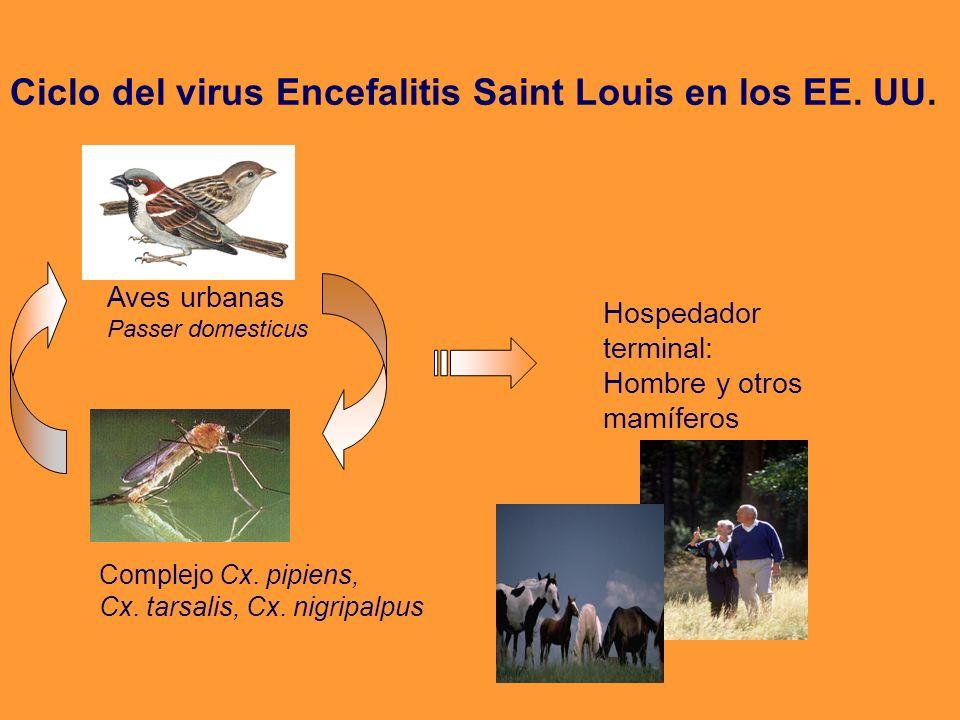 Aves urbanas Passer domesticus Complejo Cx. pipiens, Cx. tarsalis, Cx. nigripalpus Hospedador terminal: Hombre y otros mamíferos Ciclo del virus Encef