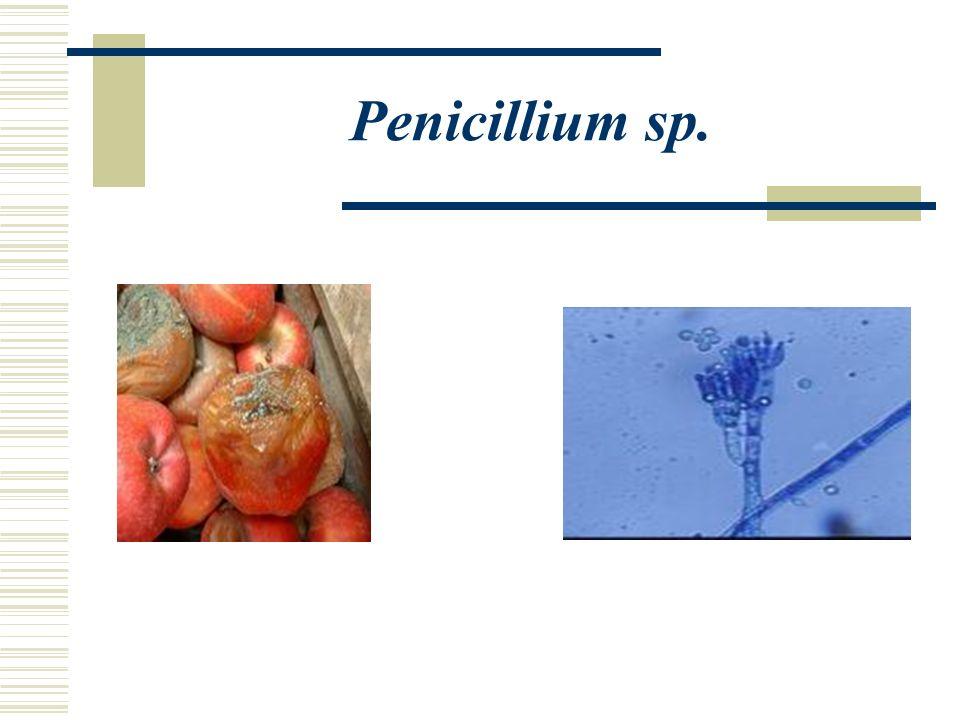 Penicillium sp.