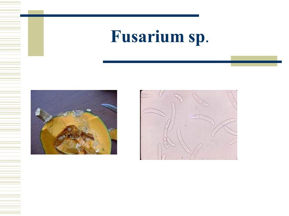 Fusarium sp.