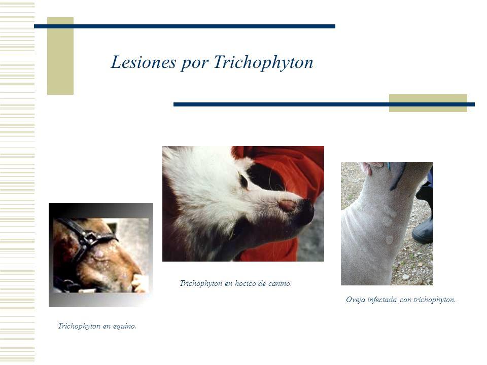 Oveja infectada con trichophyton. Trichophyton en equino. Trichophyton en hocico de canino. Lesiones por Trichophyton