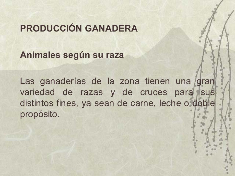 PRODUCCIÓN GANADERA Animales según su raza Las ganaderías de la zona tienen una gran variedad de razas y de cruces para sus distintos fines, ya sean d