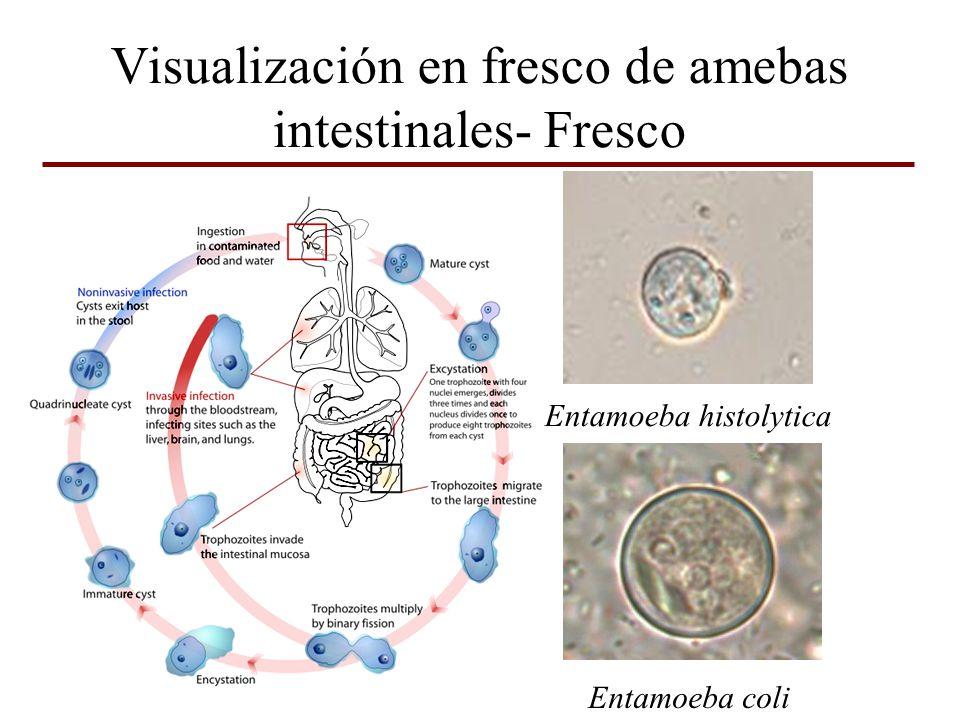 Visualización en fresco de amebas intestinales- Fresco Entamoeba histolytica Entamoeba coli