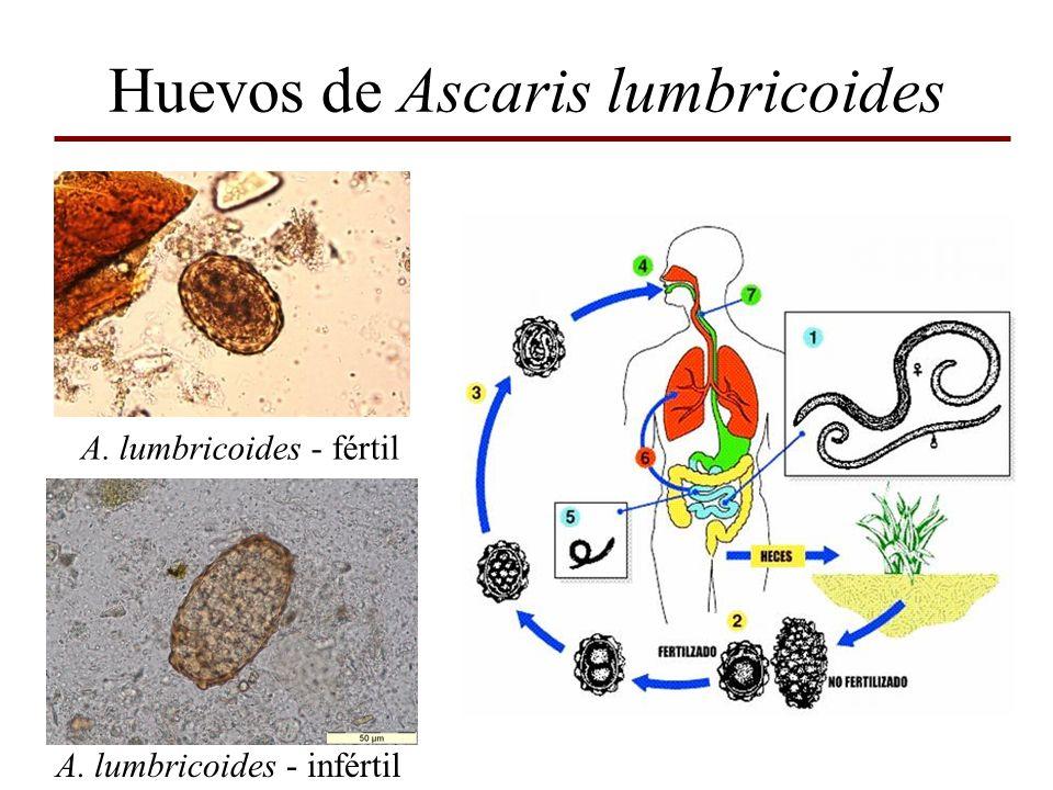 Huevos de Ascaris lumbricoides A. lumbricoides - fértil A. lumbricoides - infértil