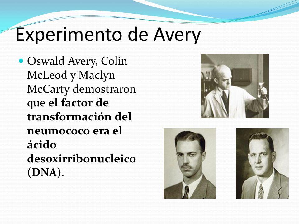 Experimento de Avery Oswald Avery, Colin McLeod y Maclyn McCarty demostraron que el factor de transformación del neumococo era el ácido desoxirribonucleico (DNA).