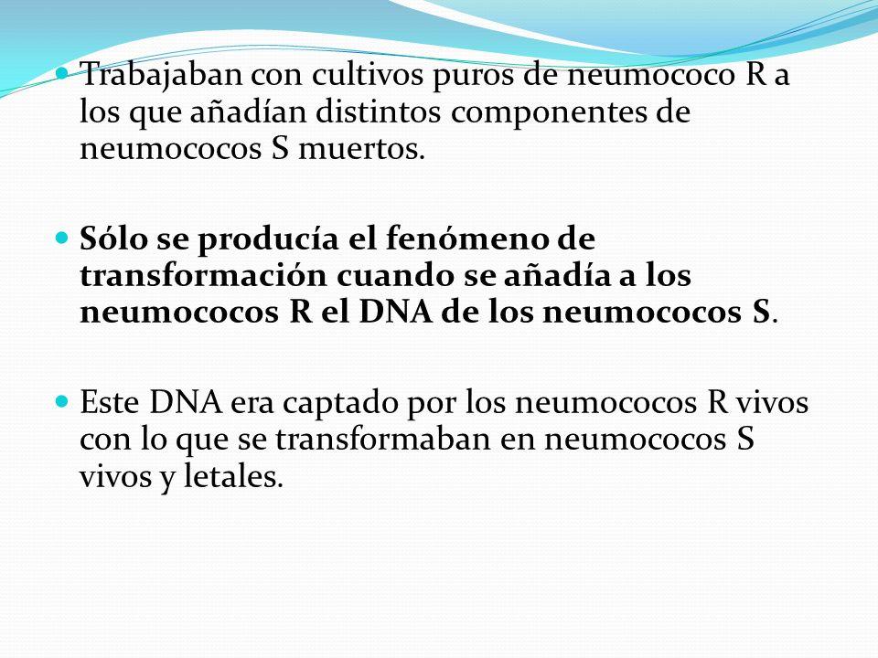 Trabajaban con cultivos puros de neumococo R a los que añadían distintos componentes de neumococos S muertos. Sólo se producía el fenómeno de transfor