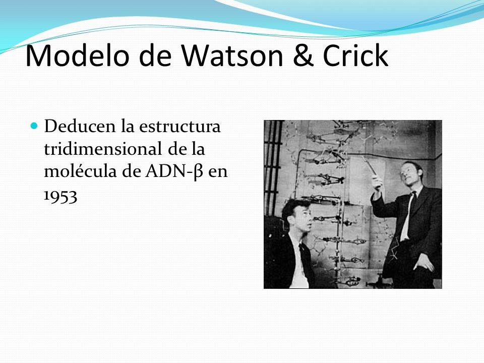 Modelo de Watson & Crick Deducen la estructura tridimensional de la molécula de ADN-β en 1953