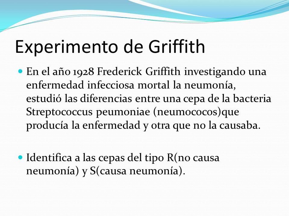 Experimento de Griffith En el año 1928 Frederick Griffith investigando una enfermedad infecciosa mortal la neumonía, estudió las diferencias entre una cepa de la bacteria Streptococcus peumoniae (neumococos)que producía la enfermedad y otra que no la causaba.