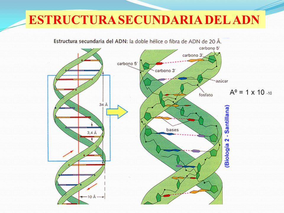 ESTRUCTURA SECUNDARIA DEL ADN Aº = 1 x 10 -10