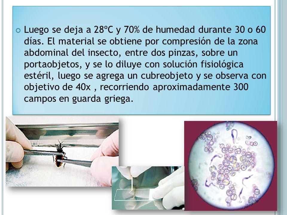 Luego se deja a 28ºC y 70% de humedad durante 30 o 60 días. El material se obtiene por compresión de la zona abdominal del insecto, entre dos pinzas,