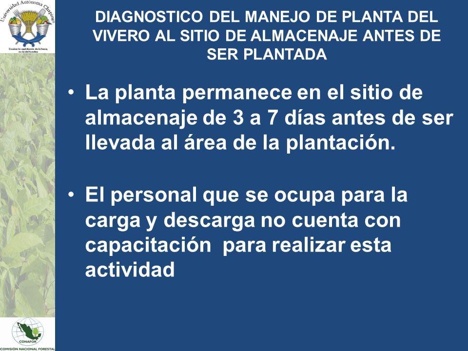 DIAGNOSTICO DEL MANEJO DE PLANTA DEL VIVERO AL SITIO DE ALMACENAJE ANTES DE SER PLANTADA La planta permanece en el sitio de almacenaje de 3 a 7 días a