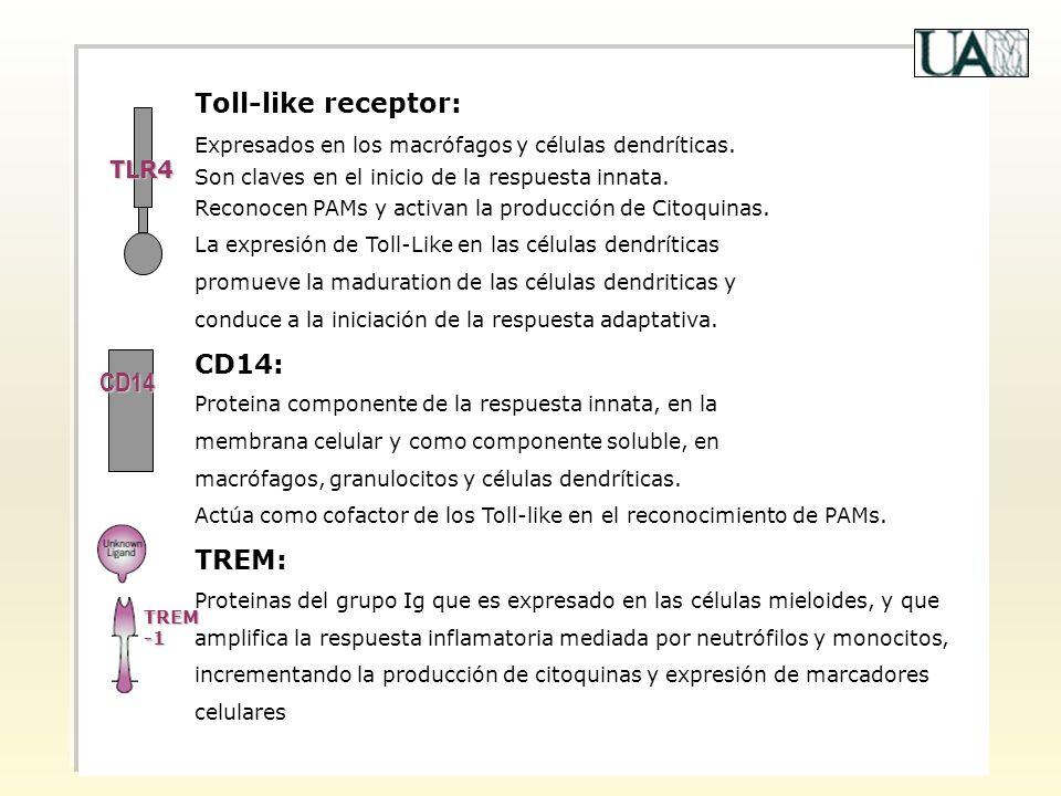 Toll-like receptor: Expresados en los macrófagos y células dendríticas. Son claves en el inicio de la respuesta innata. Reconocen PAMs y activan la pr
