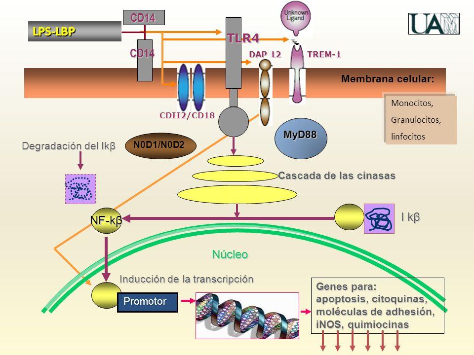 Núcleo Membrana celular: TLR4 MyD88 Cascada de las cinasas Degradación del Ikβ NF-kβ I kβ Inducción de la transcripción Promotor Genes para: apoptosis