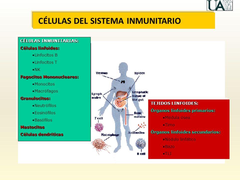 CÉLULAS DEL SISTEMA INMUNITARIO CÉLULAS INMUNITARIAS: Células linfoides: Linfocitos B Linfocitos T NK Fagocitos Mononucleares: Monocitos MacrófagosGra