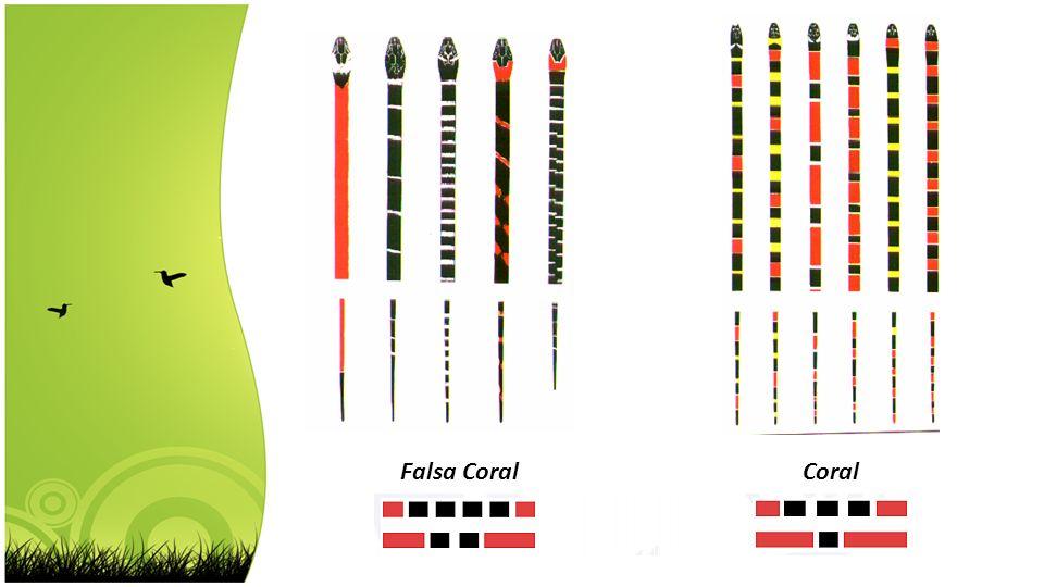 CoralFalsa Coral