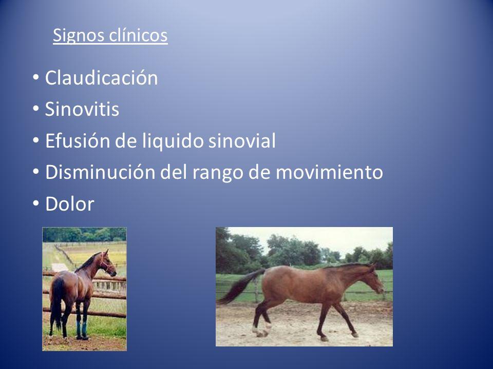 Signos clínicos Claudicación Sinovitis Efusión de liquido sinovial Disminución del rango de movimiento Dolor