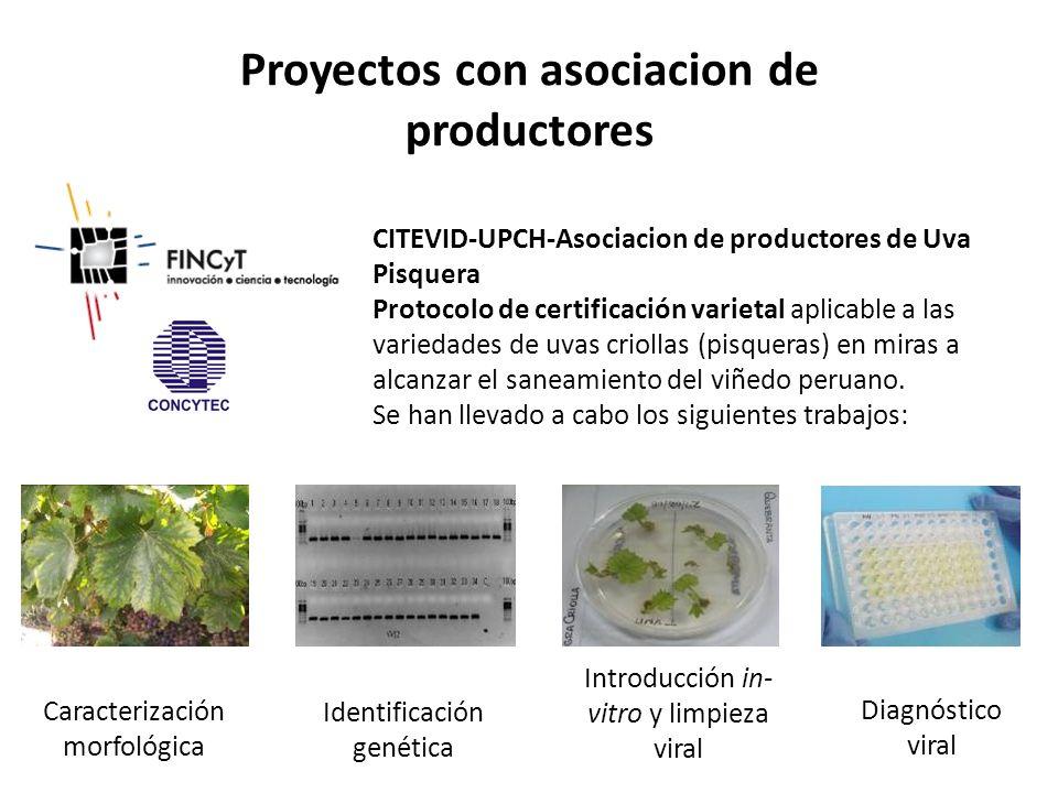 Caracterización morfológica Identificación genética Introducción in- vitro y limpieza viral Diagnóstico viral CITEVID-UPCH-Asociacion de productores d
