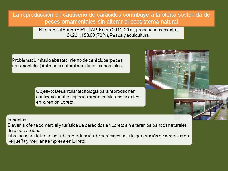 La reproducción en cautiverio de carácidos contribuye a la oferta sostenida de peces ornamentales sin alterar el ecosistema natural Neotropical Fauna