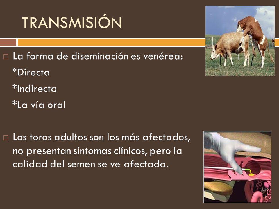 TRANSMISIÓN La forma de diseminación es venérea: *Directa *Indirecta *La vía oral Los toros adultos son los más afectados, no presentan síntomas clíni