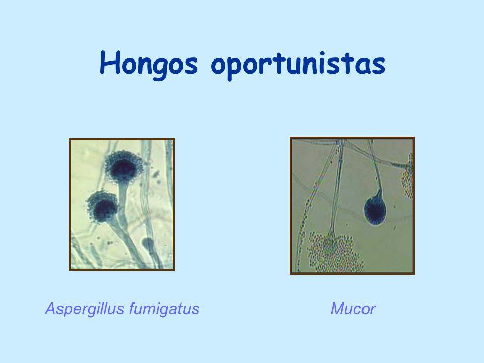 Hongos oportunistas Aspergillus fumigatusMucor