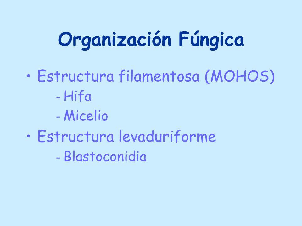 Organización Fúngica Estructura filamentosa (MOHOS) - Hifa - Micelio Estructura levaduriforme - Blastoconidia