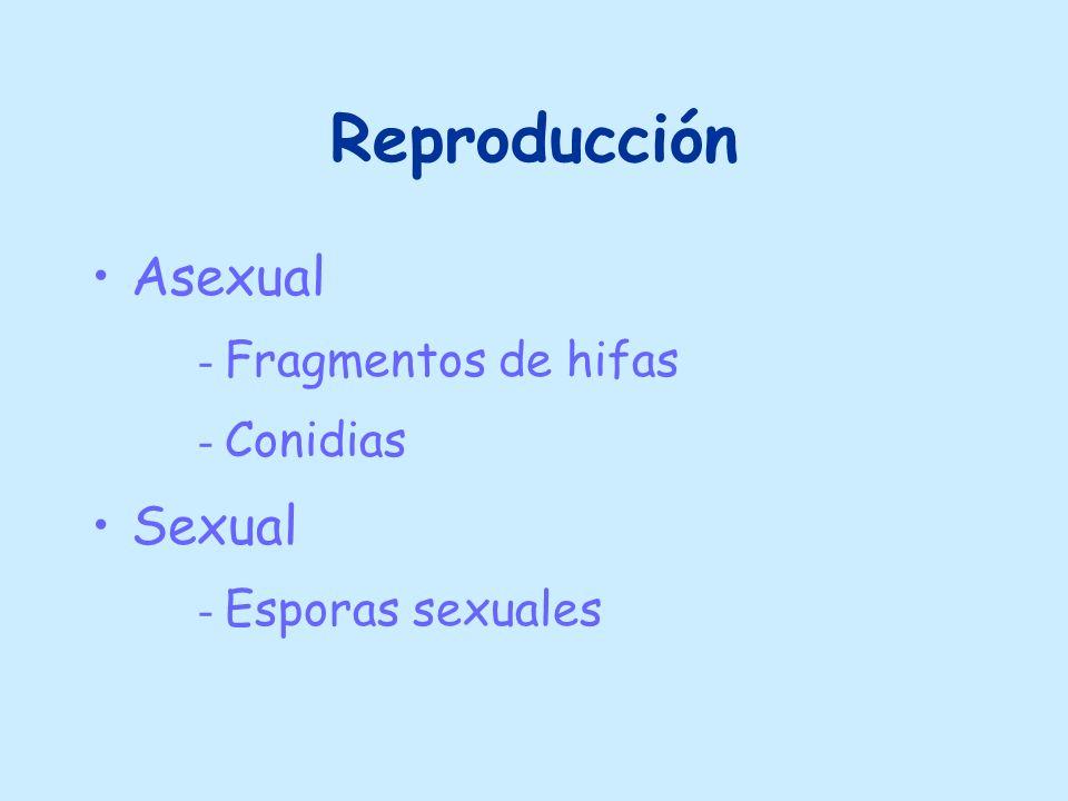 Reproducción Asexual - Fragmentos de hifas - Conidias Sexual - Esporas sexuales