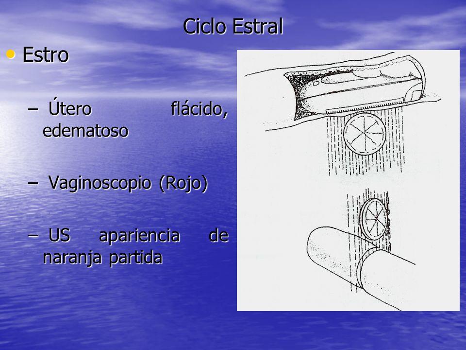 Ciclo Estral Estro Estro – Útero flácido, edematoso – Vaginoscopio (Rojo) – US apariencia de naranja partida