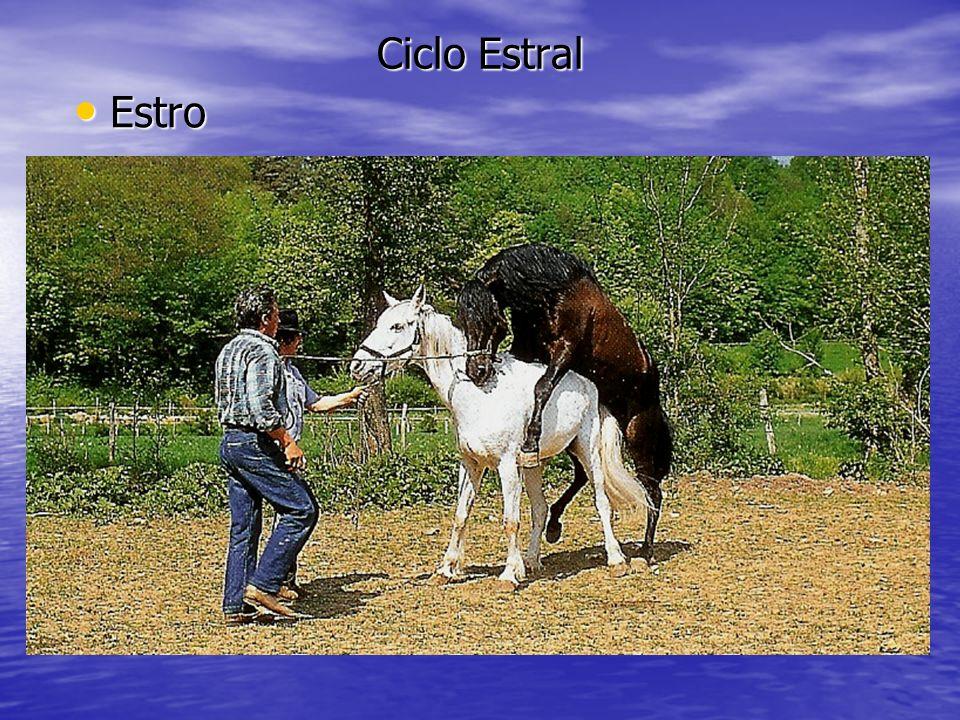 Ciclo Estral Estro Estro