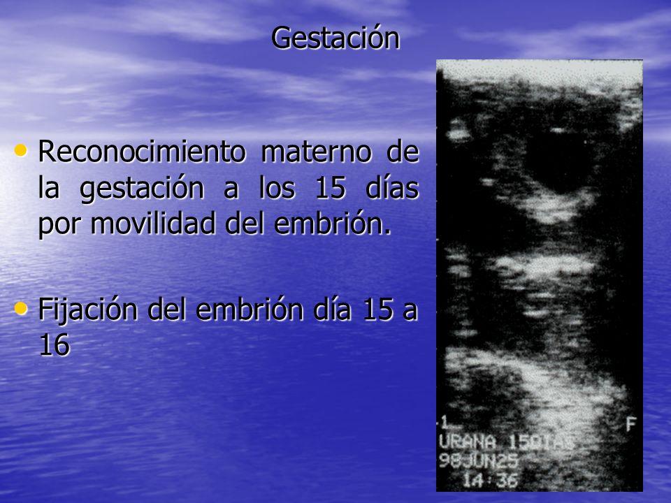 Gestación Reconocimiento materno de la gestación a los 15 días por movilidad del embrión. Reconocimiento materno de la gestación a los 15 días por mov