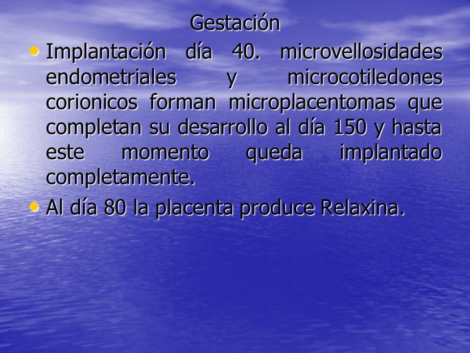 Gestación Implantación día 40. microvellosidades endometriales y microcotiledones corionicos forman microplacentomas que completan su desarrollo al dí