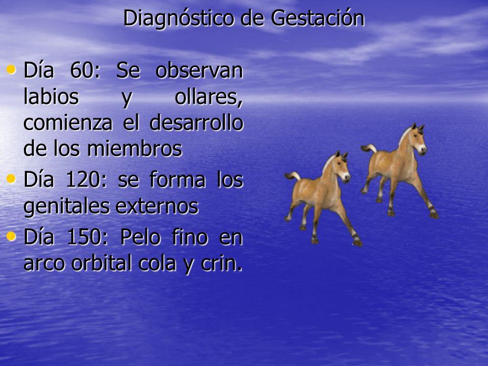 Diagnóstico de Gestación Día 60: Se observan labios y ollares, comienza el desarrollo de los miembros Día 60: Se observan labios y ollares, comienza e
