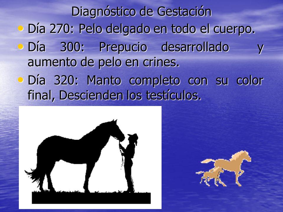 Diagnóstico de Gestación Día 270: Pelo delgado en todo el cuerpo. Día 270: Pelo delgado en todo el cuerpo. Día 300: Prepucio desarrollado y aumento de