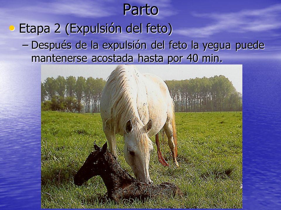 Parto Etapa 2 (Expulsión del feto) Etapa 2 (Expulsión del feto) –Después de la expulsión del feto la yegua puede mantenerse acostada hasta por 40 min.