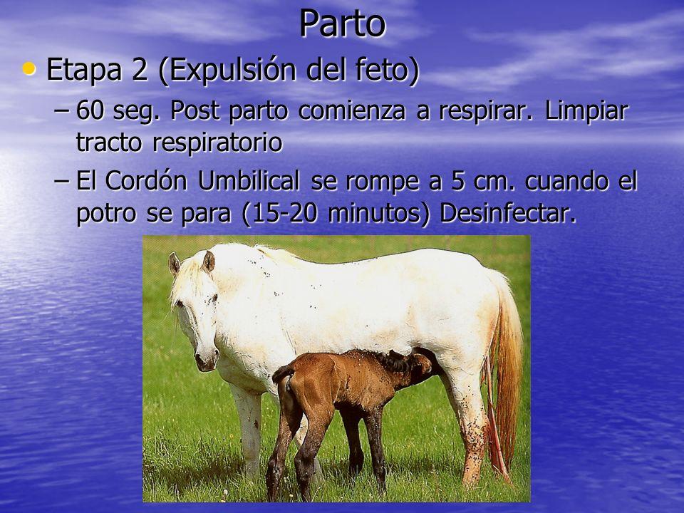 Parto Etapa 2 (Expulsión del feto) Etapa 2 (Expulsión del feto) –60 seg. Post parto comienza a respirar. Limpiar tracto respiratorio –El Cordón Umbili
