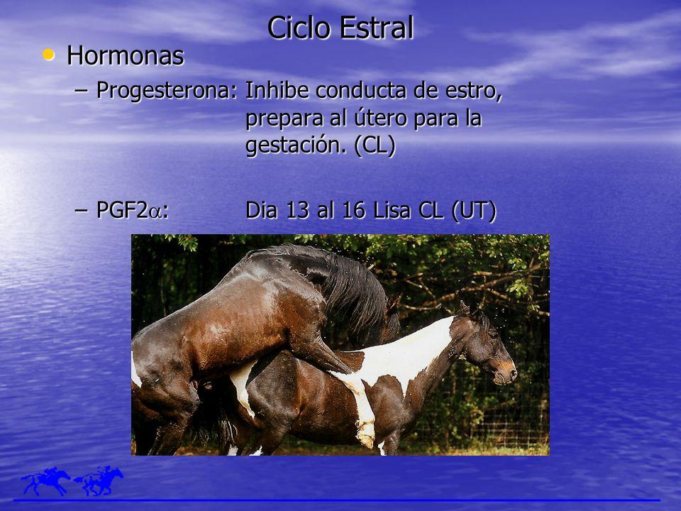 Ciclo Estral Hormonas Hormonas –Progesterona:Inhibe conducta de estro, prepara al útero para la gestación. (CL) –PGF2 :Dia 13 al 16 Lisa CL (UT)