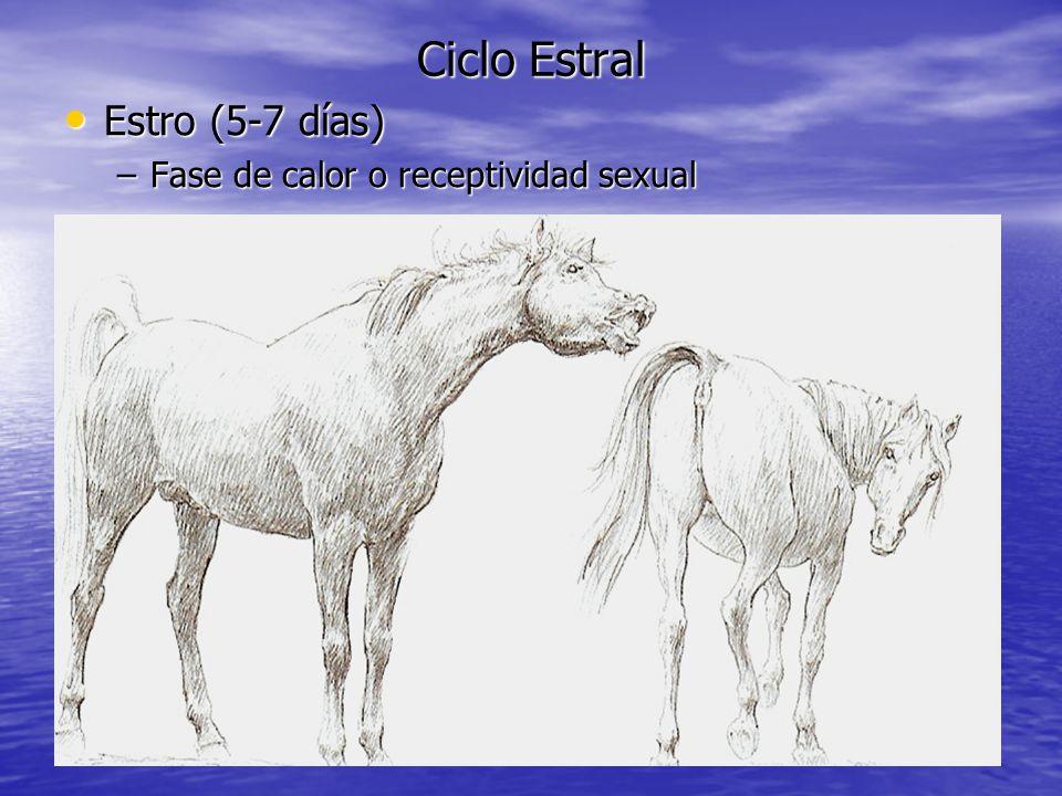 Ciclo Estral Estro (5-7 días) Estro (5-7 días) –Fase de calor o receptividad sexual