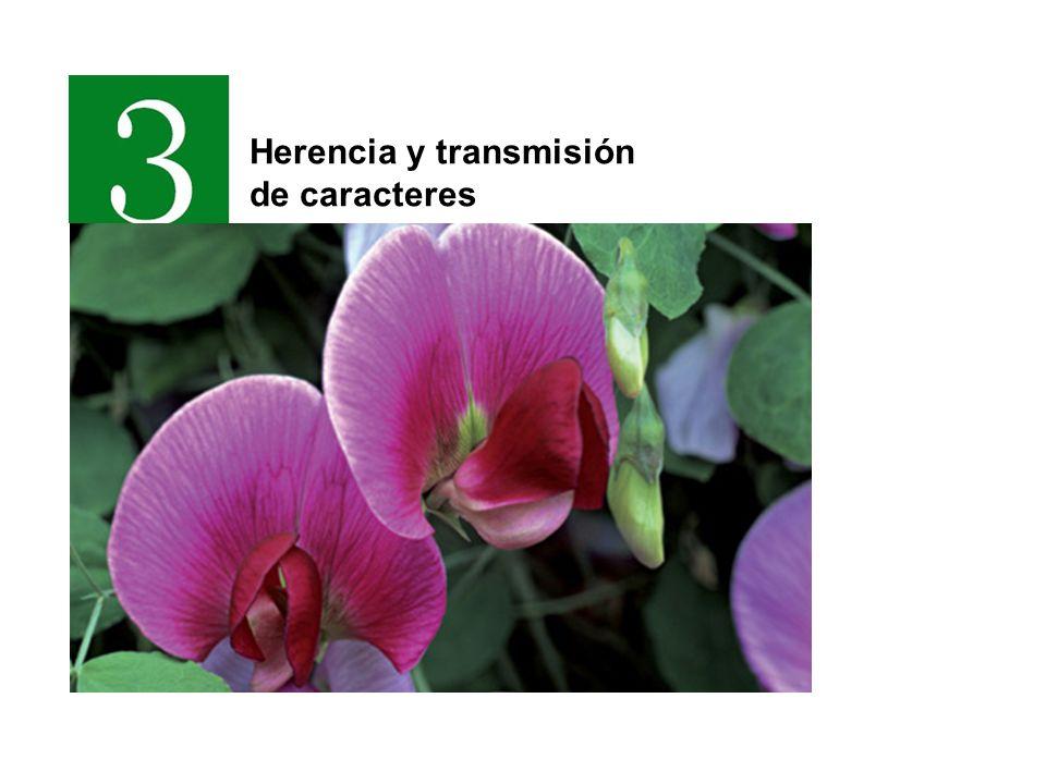 Los árboles genealógicos MujerHombre Aborto Matrimonio Hijos Matrimonio consanguíneo 4 5 6 78 1 2 3 Pertenecen a la misma generación I II III IV Distintas generaciones Hermanos gemelos Portador de enfermedad o malformación
