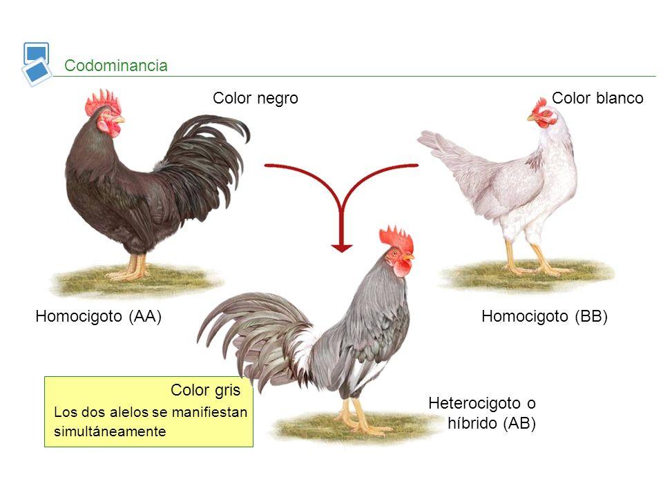 Color gris Los dos alelos se manifiestan simultáneamente Codominancia Homocigoto (AA)Homocigoto (BB) Heterocigoto o híbrido (AB) Color negro Color bla