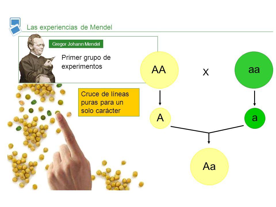 Las experiencias de Mendel Primer grupo de experimentos Gregor Johann Mendel AA aa A a Aa X Cruce de líneas puras para un solo carácter