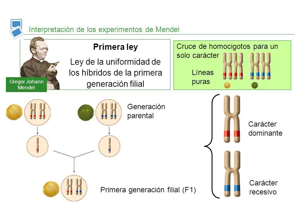 Interpretación de los experimentos de Mendel Primera ley Ley de la uniformidad de los híbridos de la primera generación filial Gregor Johann Mendel Pr