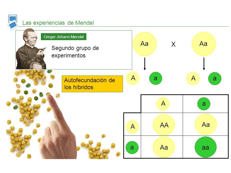 Las experiencias de Mendel Segundo grupo de experimentos Gregor Johann Mendel Autofecundación de los híbridos Aa AAaa X AAaa AAAa aa