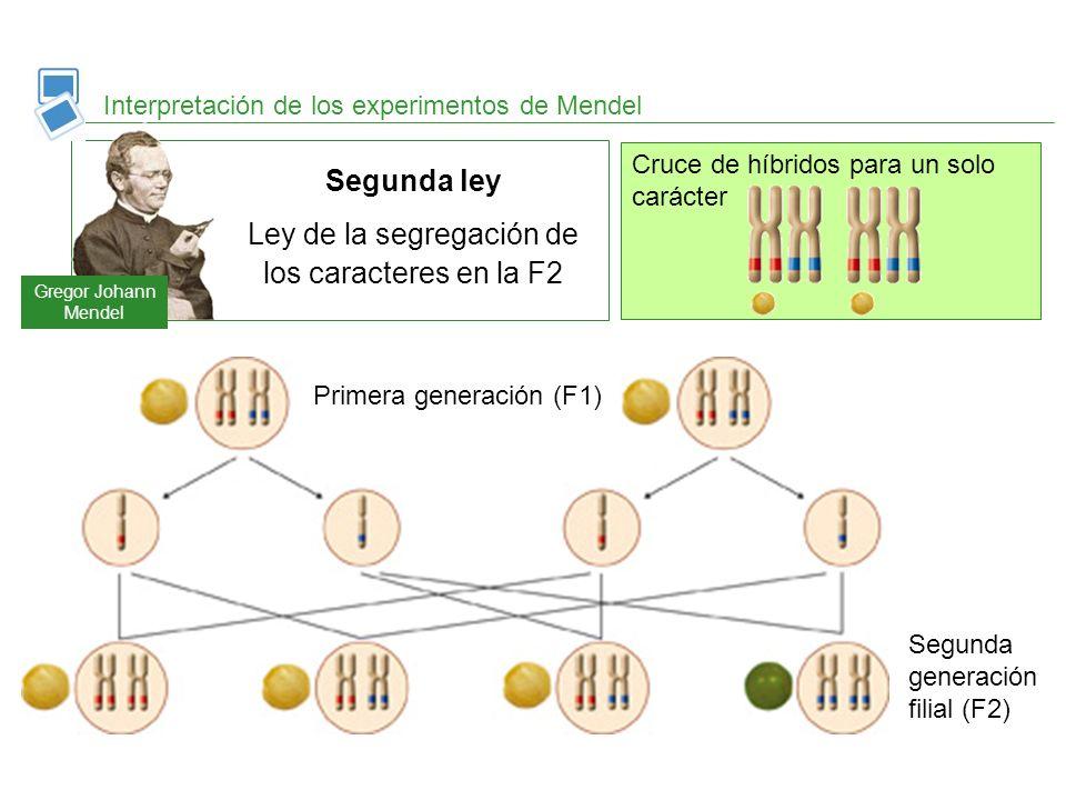Cruce de híbridos para un solo carácter Interpretación de los experimentos de Mendel Segunda generación filial (F2) Primera generación (F1) Gregor Joh