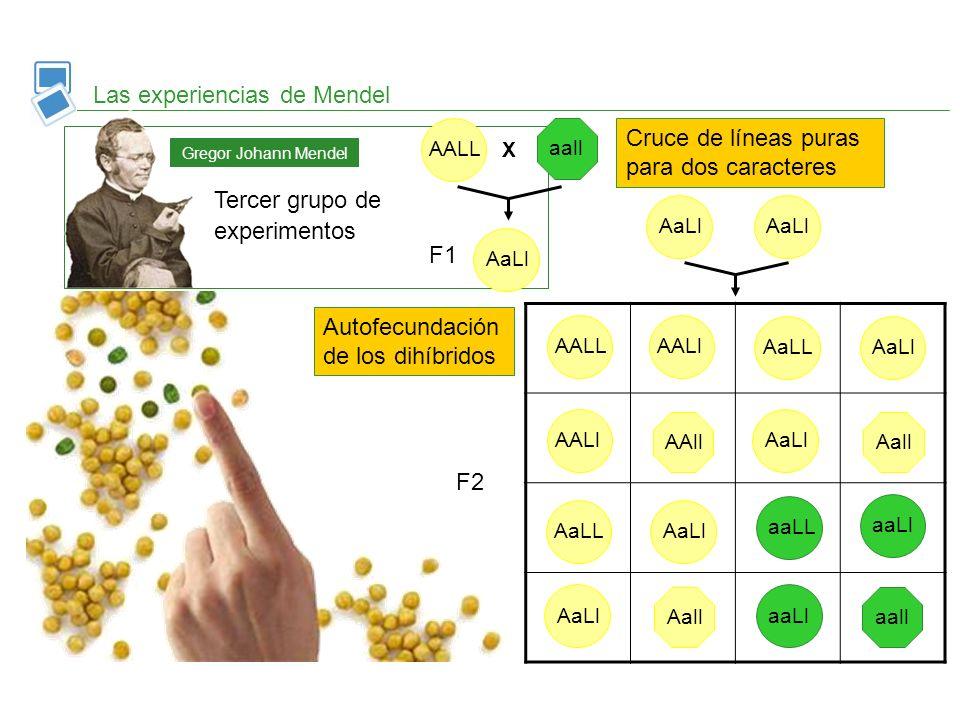 Las experiencias de Mendel Tercer grupo de experimentos Gregor Johann Mendel Cruce de líneas puras para dos caracteres Autofecundación de los dihíbrid