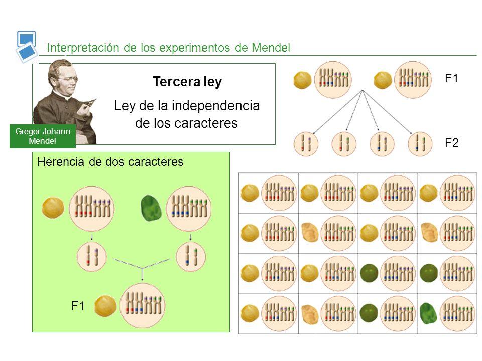 Interpretación de los experimentos de Mendel Herencia de dos caracteres F1 F2 Gregor Johann Mendel Tercera ley Ley de la independencia de los caracter