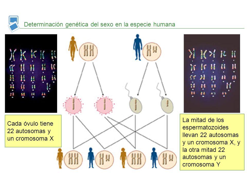 Determinación genética del sexo en la especie humana Cada óvulo tiene 22 autosomas y un cromosoma X La mitad de los espermatozoides llevan 22 autosoma