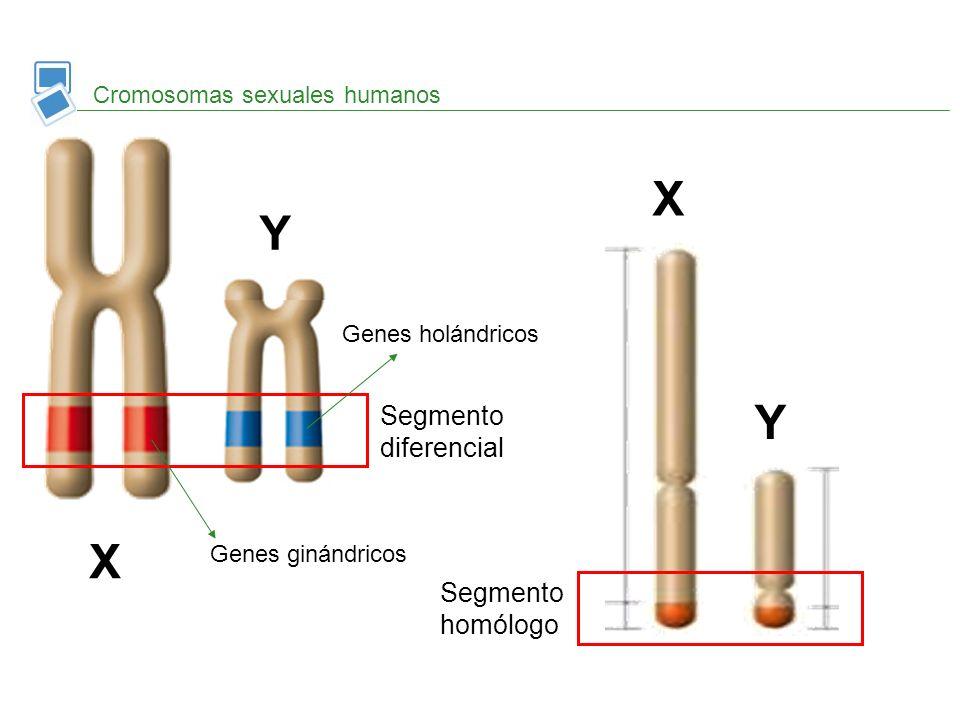 Cromosomas sexuales humanos X Y X Y Segmento diferencial Segmento homólogo Genes ginándricos Genes holándricos