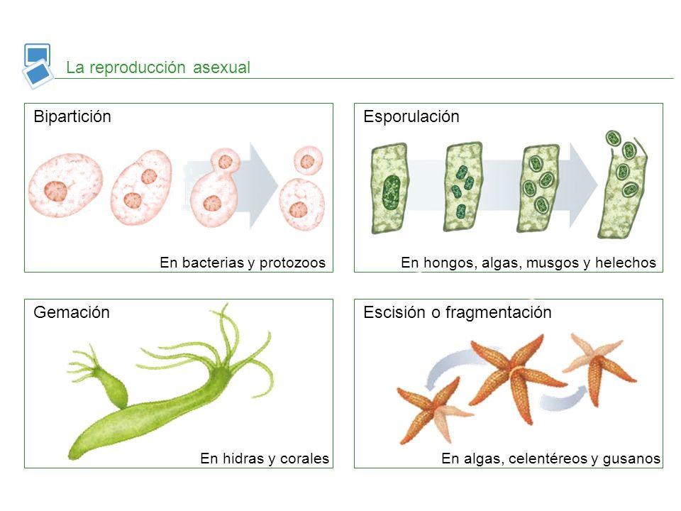 La reproducción asexual BiparticiónEsporulación GemaciónEscisión o fragmentación En bacterias y protozoosEn hongos, algas, musgos y helechos En hidras